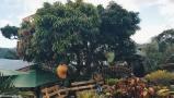 Huge mangoes